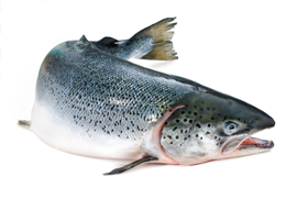 aquaculture focus.salmon